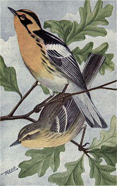 Black Trimian Warbler clipart #14, Download drawings