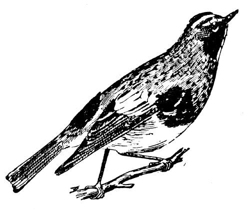 Black Trimian Warbler clipart #20, Download drawings