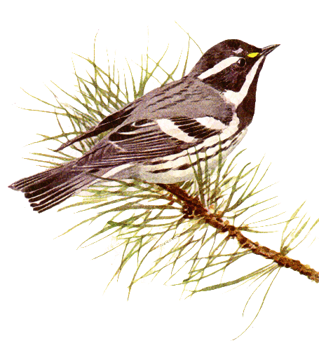 Black Trimian Warbler clipart #2, Download drawings