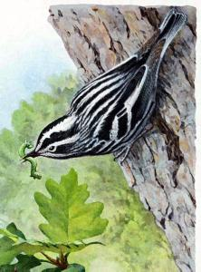 Black Trimian Warbler clipart #5, Download drawings