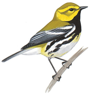 Black Trimian Warbler clipart #8, Download drawings