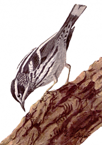 Black Trimian Warbler clipart #18, Download drawings