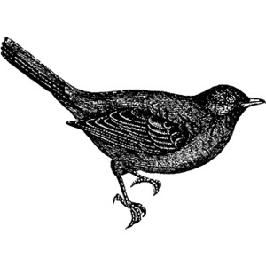 Blackbird clipart #4, Download drawings