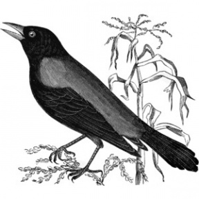 Blackbird clipart #11, Download drawings