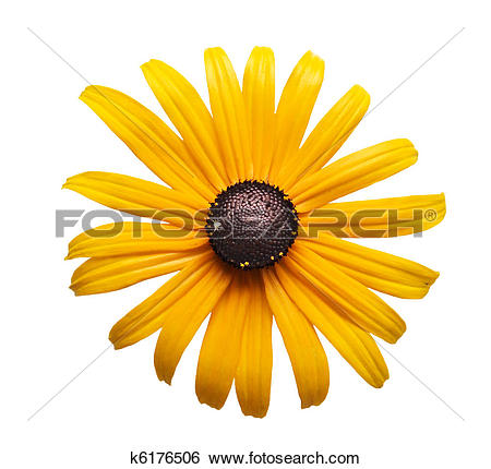Black-eyed Susan clipart #11, Download drawings