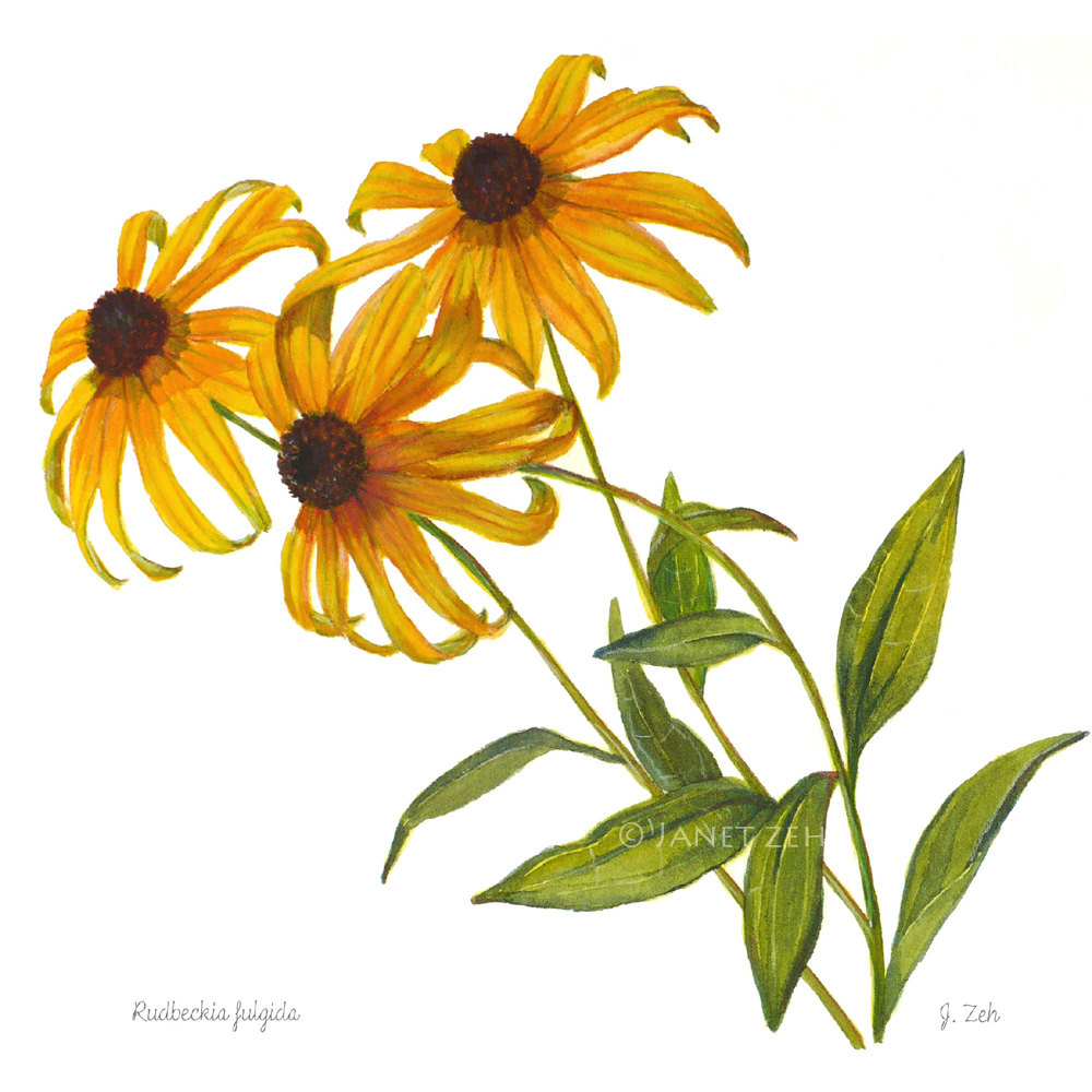 Black-eyed Susan clipart #9, Download drawings
