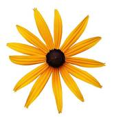 Black-eyed Susan clipart #10, Download drawings