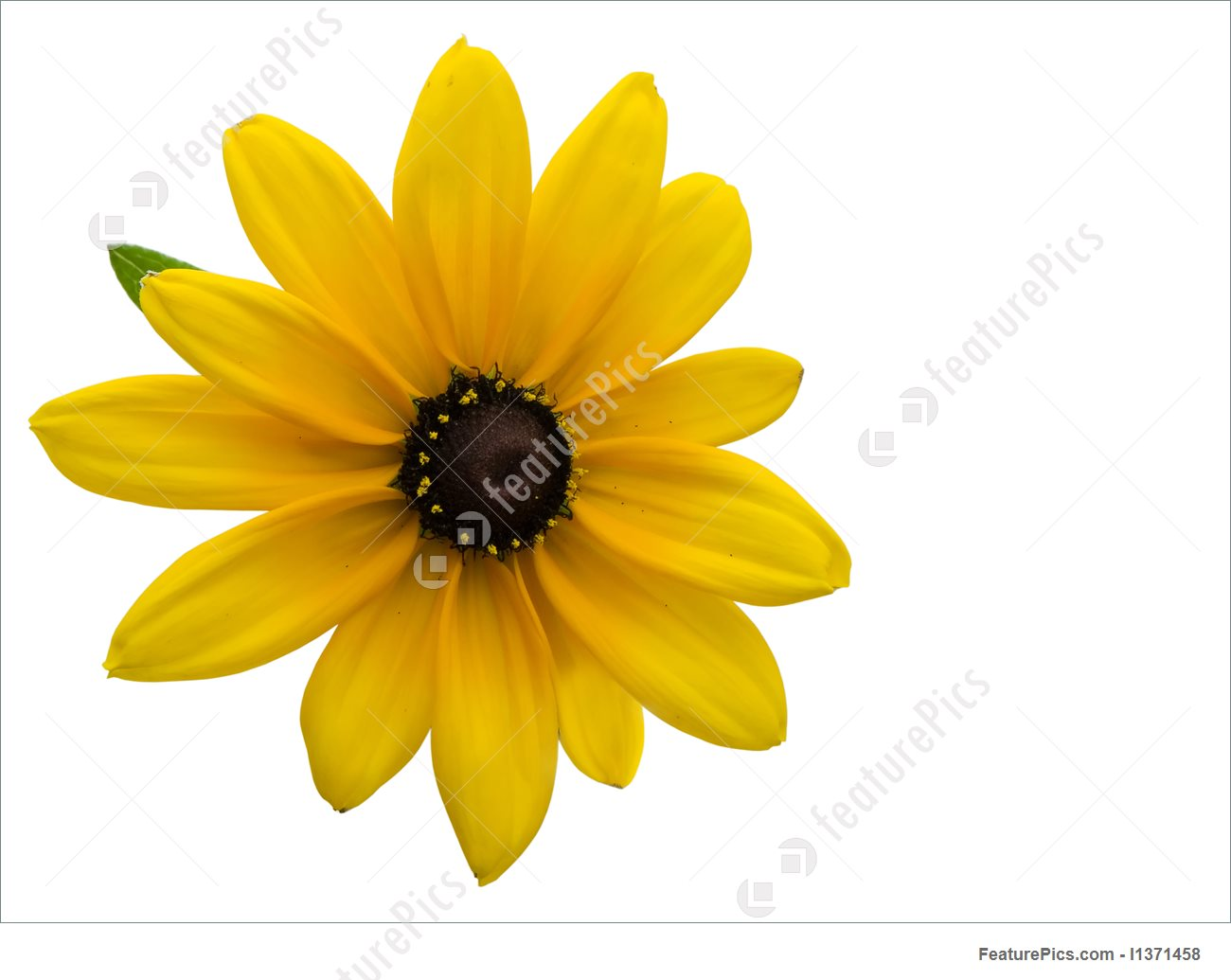Black-eyed Susan clipart #2, Download drawings