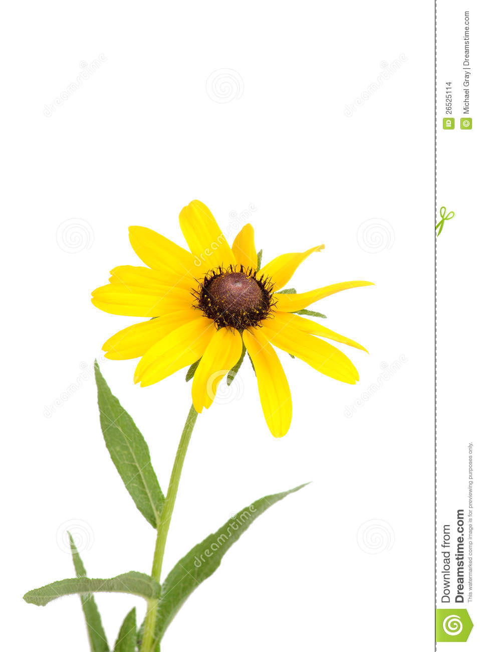 Black-eyed Susan clipart #4, Download drawings