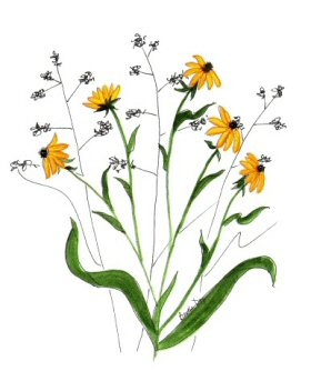 Black-eyed Susan clipart #3, Download drawings