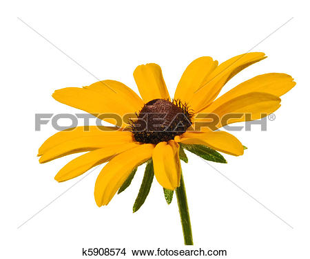 Black-eyed Susan clipart #15, Download drawings