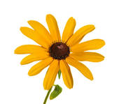 Black-eyed Susan clipart #16, Download drawings