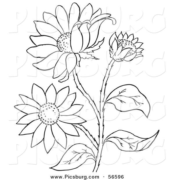 Black-eyed Susan coloring #13, Download drawings