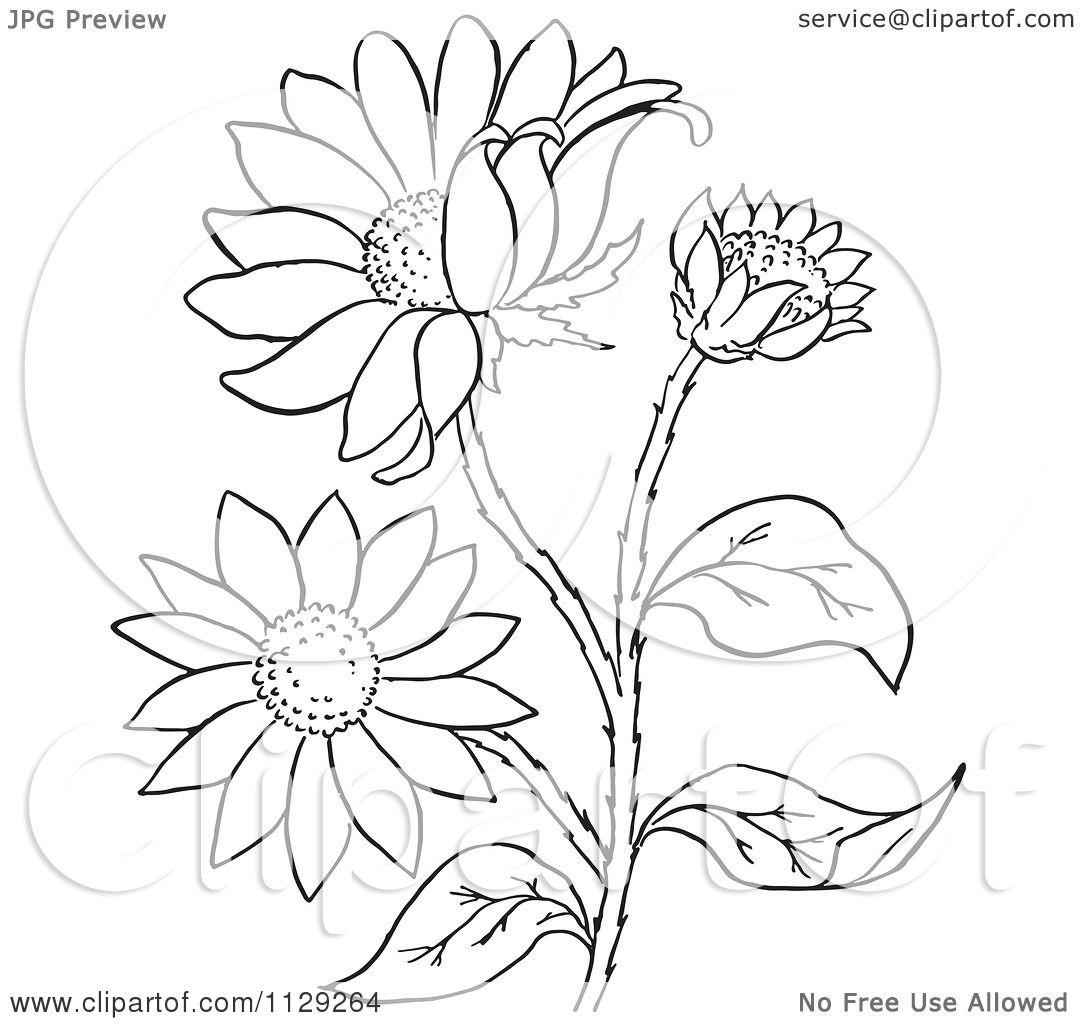 Black-eyed Susan coloring #5, Download drawings