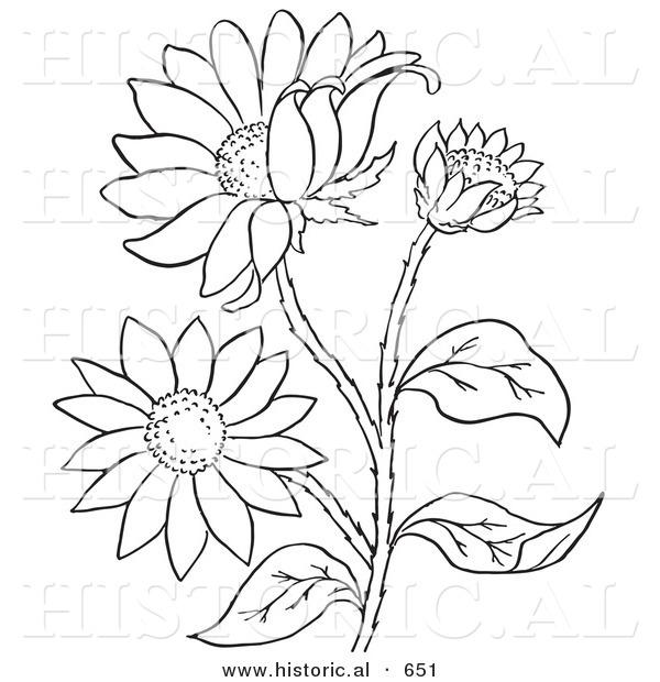 Black-eyed Susan coloring #10, Download drawings