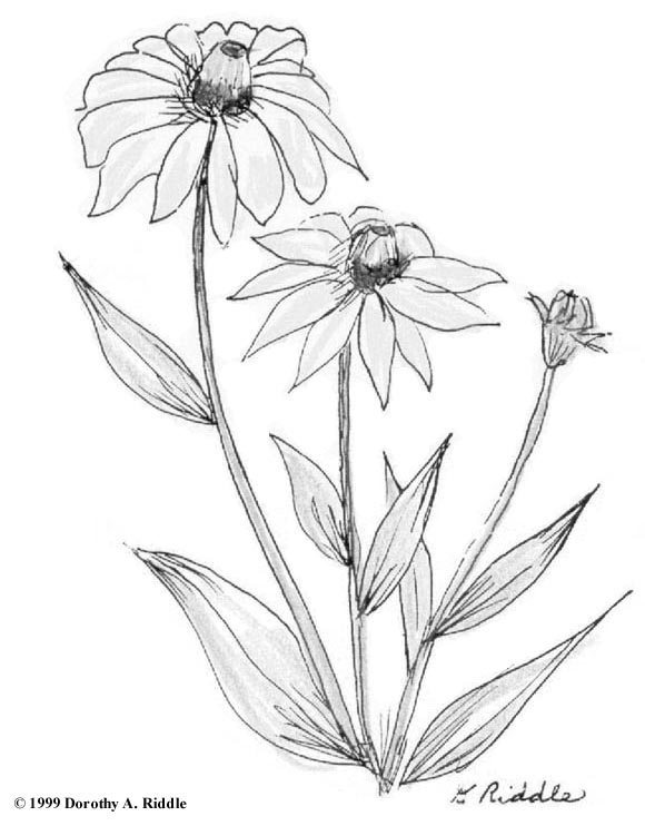 Wildflower coloring #5, Download drawings