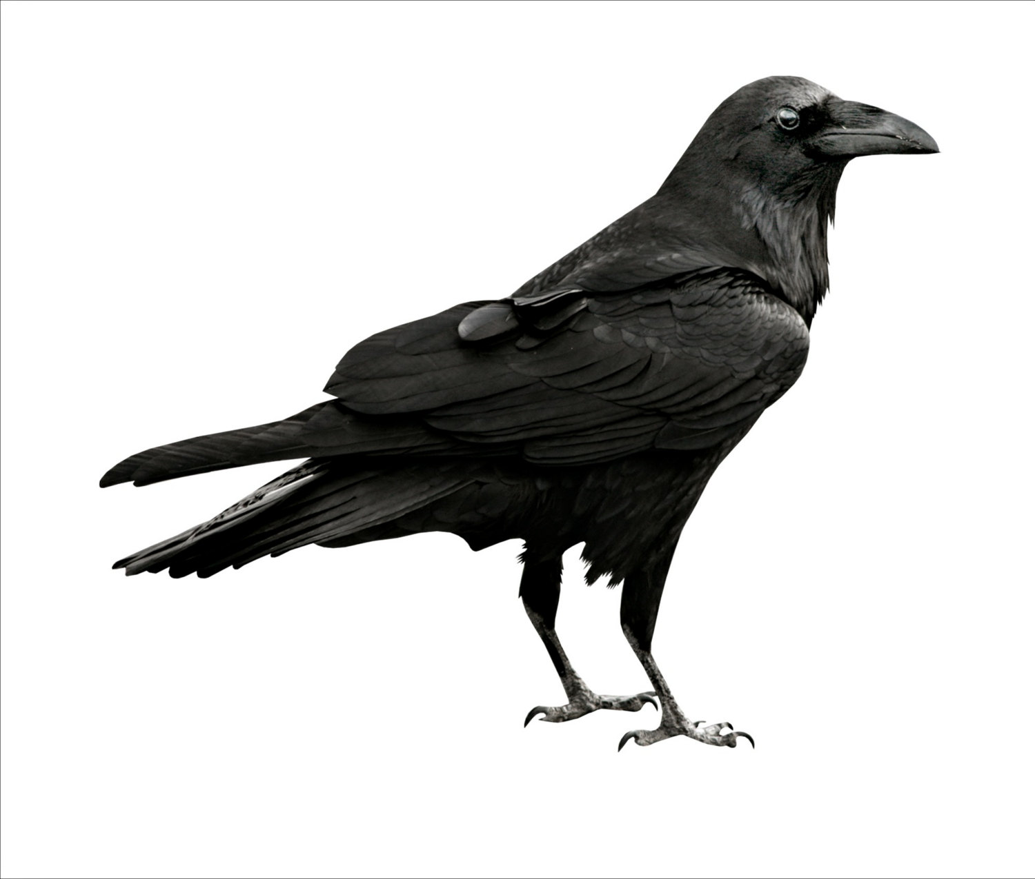 Black-masked Blackbird clipart #20, Download drawings