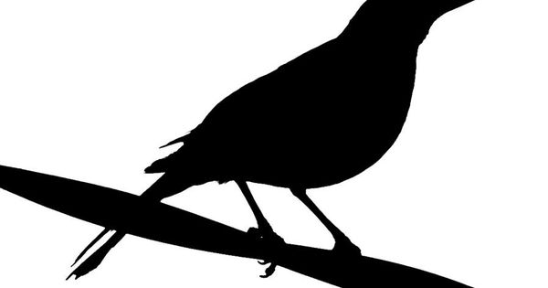 Black-masked Blackbird clipart #8, Download drawings