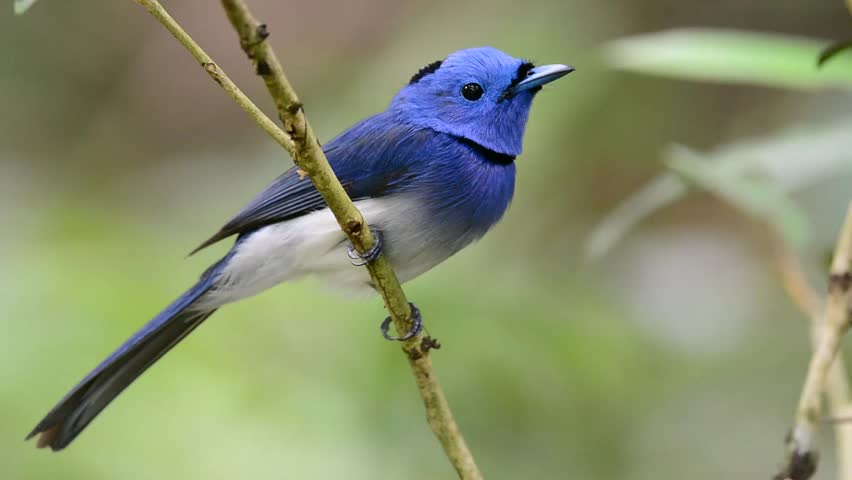 Black-naped Blue Monarch clipart #2, Download drawings