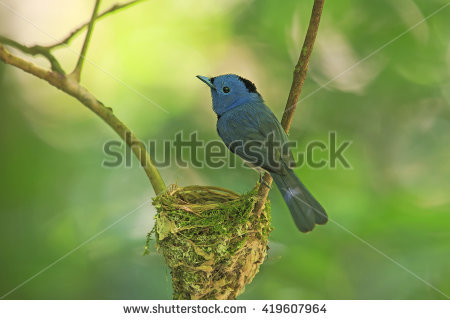 Black-naped Blue Monarch clipart #6, Download drawings