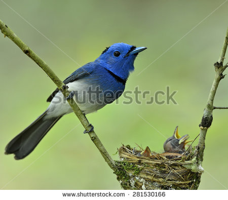 Black-naped Blue Monarch clipart #11, Download drawings