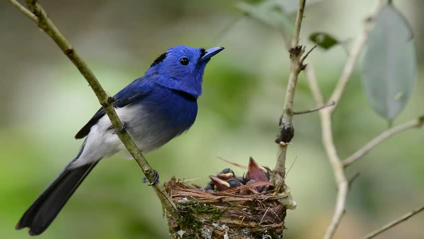 Black-naped Blue Monarch clipart #15, Download drawings