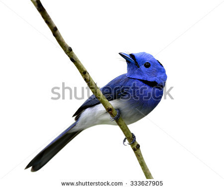 Black-naped Blue Monarch clipart #16, Download drawings