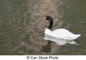 Black-necked Swan clipart #6, Download drawings