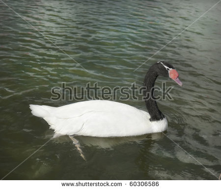 Black-necked Swan clipart #12, Download drawings