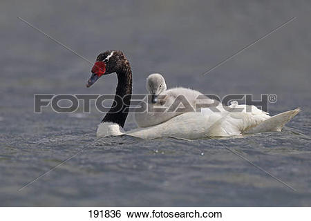 Black-necked Swan clipart #4, Download drawings