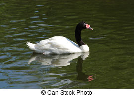 Black-necked Swan clipart #17, Download drawings