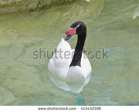 Black-necked Swan clipart #13, Download drawings