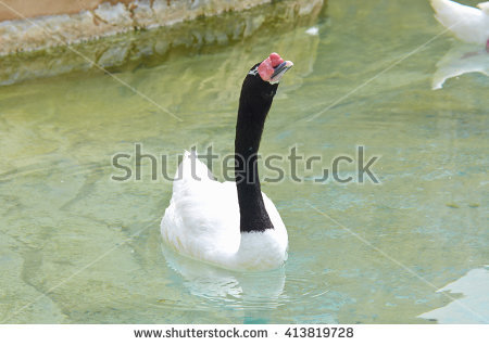 Black-necked Swan clipart #16, Download drawings
