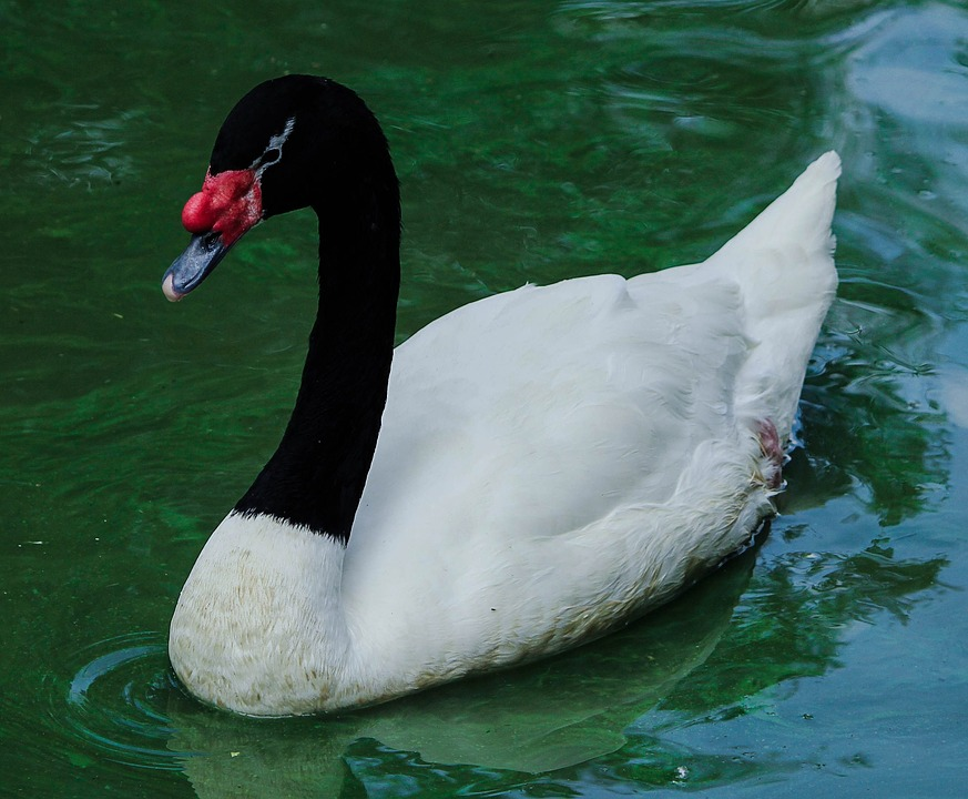 Black-necked Swan clipart #20, Download drawings