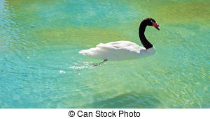 Black-necked Swan clipart #7, Download drawings