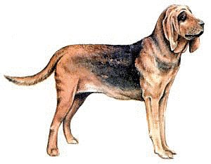 Bloodhound clipart #12, Download drawings