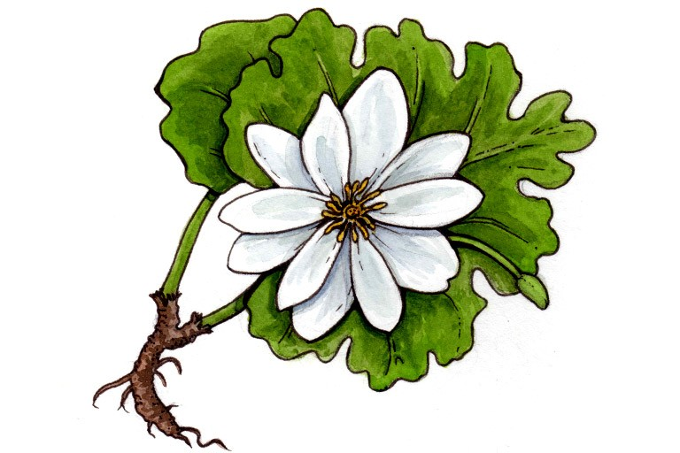 Bloodroot clipart #1, Download drawings