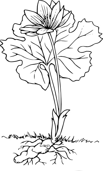 Bloodroot clipart #20, Download drawings