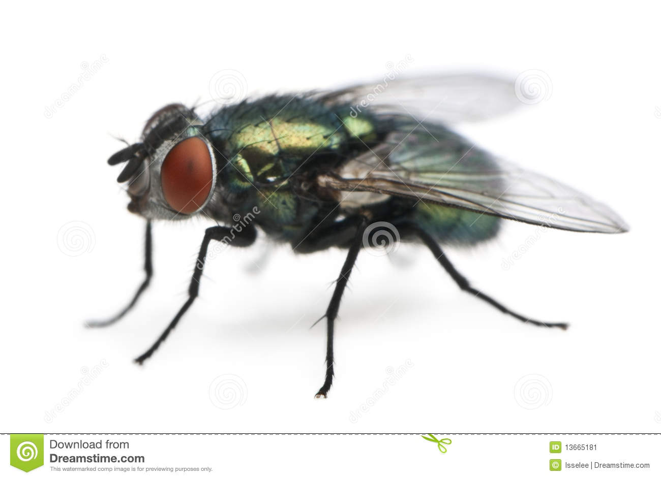 Blowfly clipart #13, Download drawings