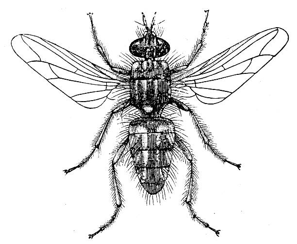 Blowfly clipart #3, Download drawings