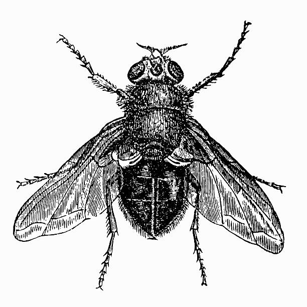 Blowfly clipart #5, Download drawings
