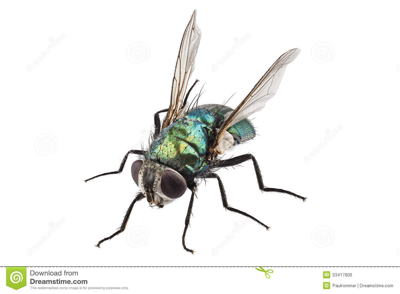 Blowfly clipart #19, Download drawings