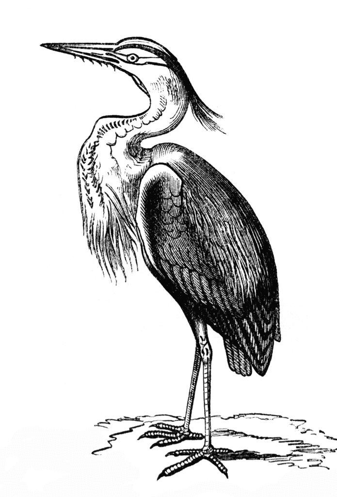 Blue Heron clipart #10, Download drawings