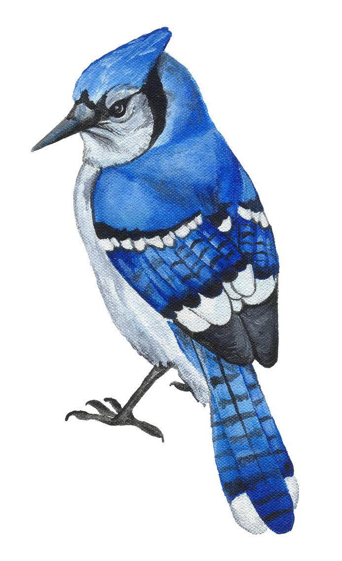 Blue Jay clipart #13, Download drawings