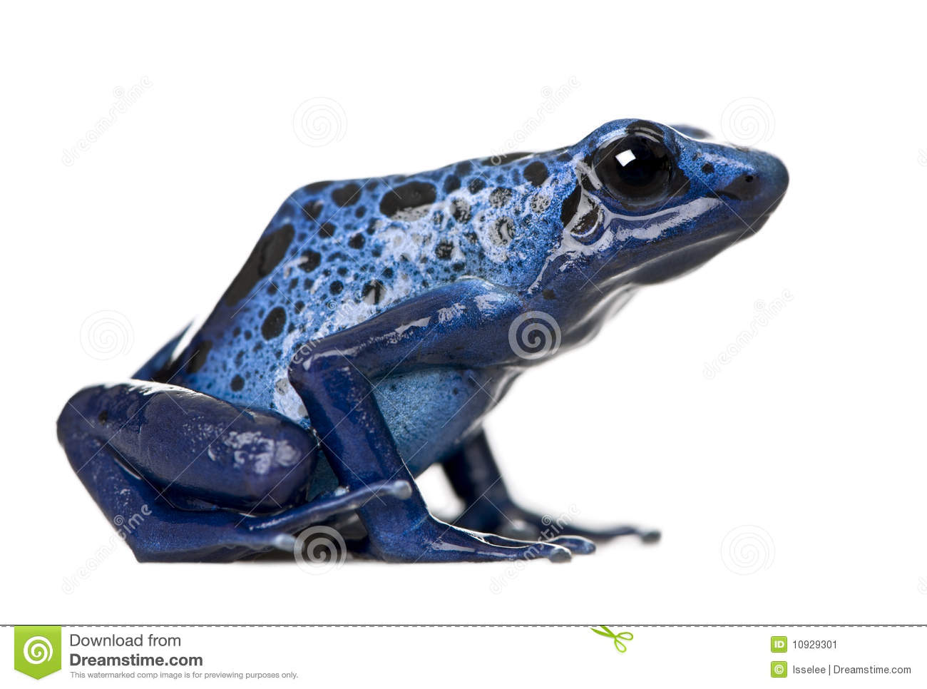Blue Poison Dart Frog clipart #4, Download drawings