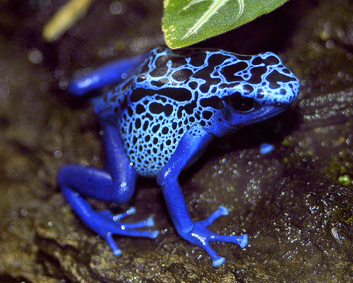 Download Blue Poison Dart Frog coloring for free ...