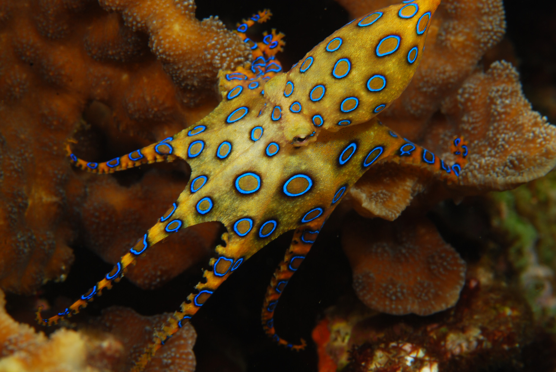 Blue Ringed Octopus svg #6, Download drawings