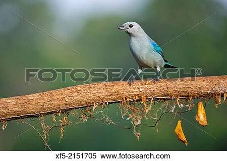 Blue Tanager clipart #13, Download drawings