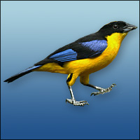 Blue Tanager clipart #11, Download drawings
