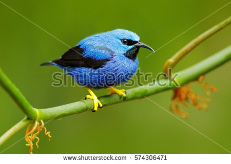 Blue Tanager clipart #7, Download drawings